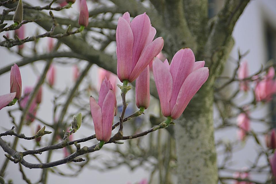 Magnolias, Flowers, Flora, Spring Flowers, Tree