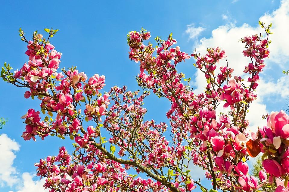 Free photo tree spring nature flowers bloom blossom magnolia max pixel magnolia tree flowers blossom bloom spring nature mightylinksfo