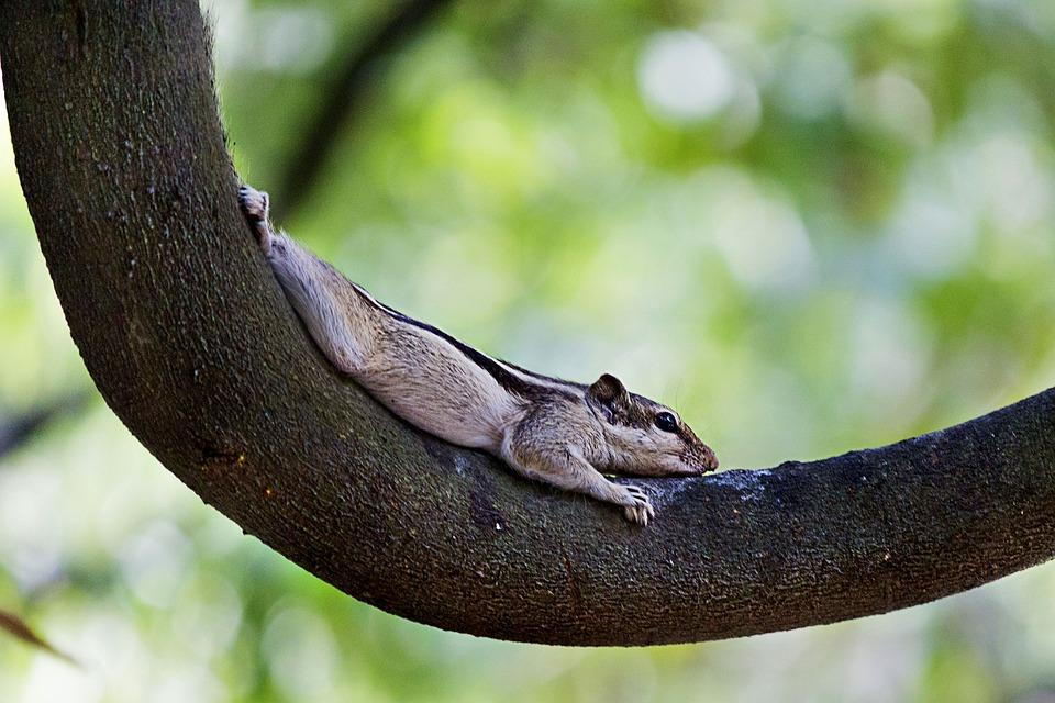 Five-striped Palm Squirrel, Squirrel, Tree, Nature