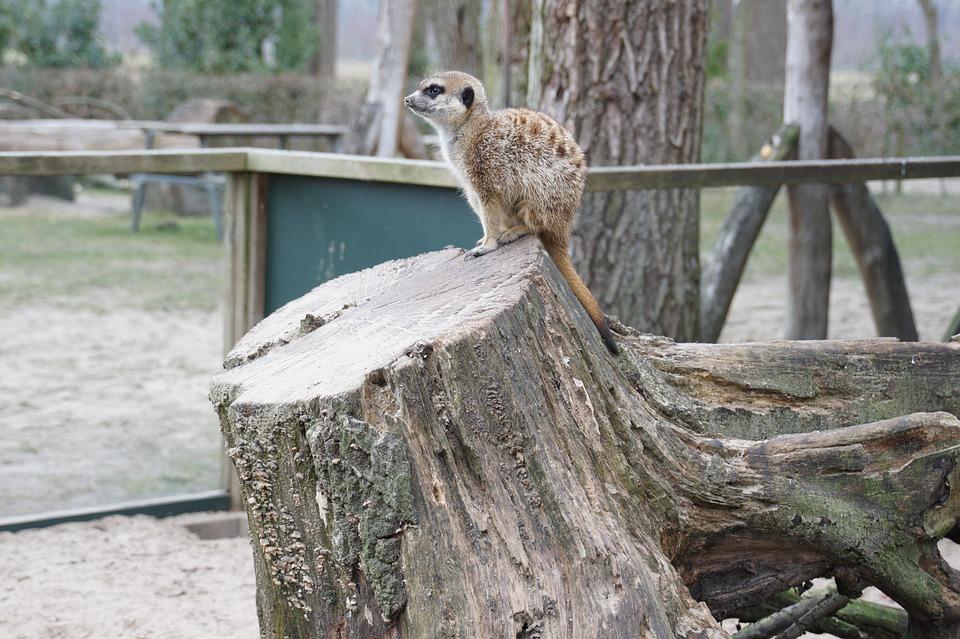 Meerkat, Tree Stump, Holendier, Predator, Africa