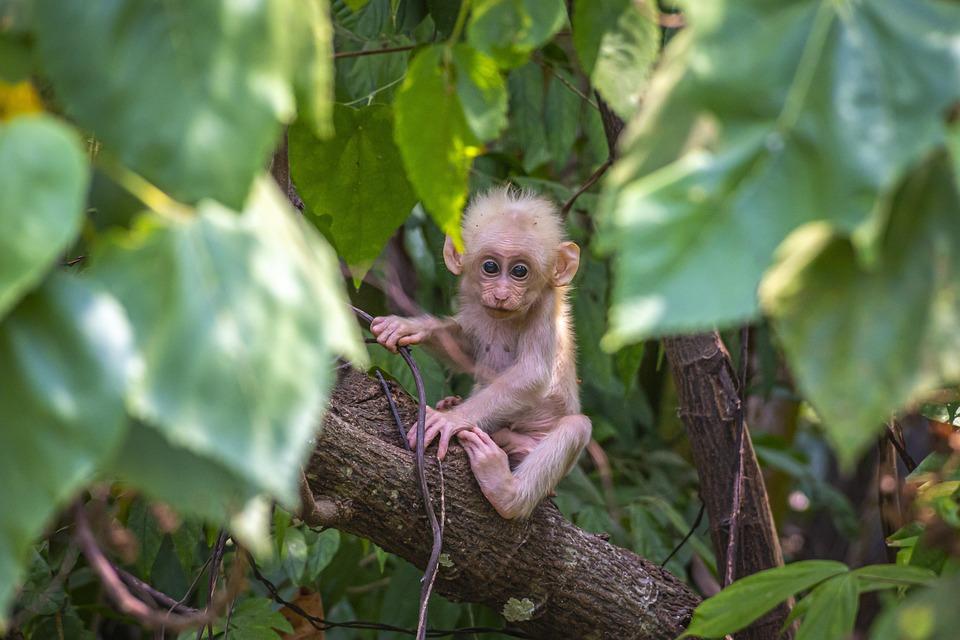Baby Monkey, Animal, Tree, Stump-tailed Macaque