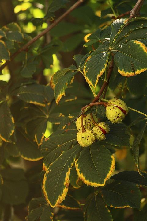 Chestnut, Summer, Heat, Vacation, Tree, Plant, Bright