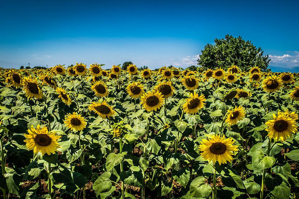 Sunflower, Campaign, Tree, Sunflowers, Outdoors
