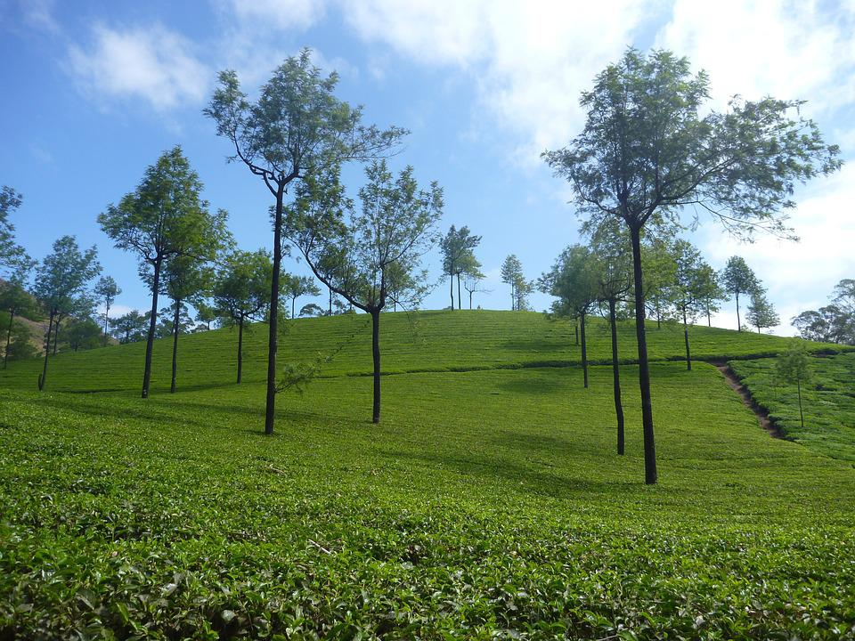 Tea Plantation, Plantation, Landscape, Tree, Green