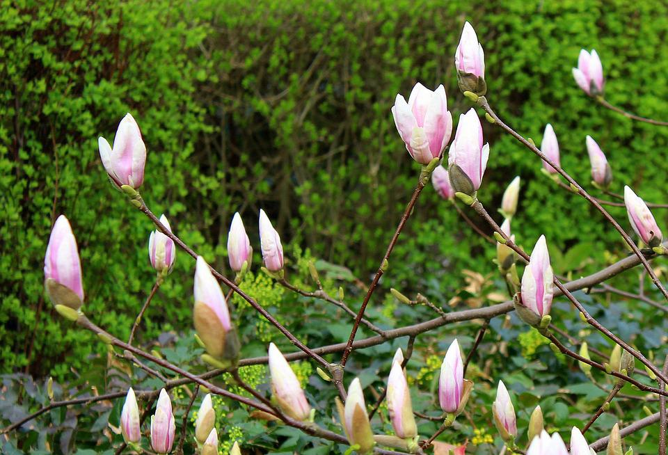 Magnolia, Tree, The Buds, Flowers, Spring, Flower