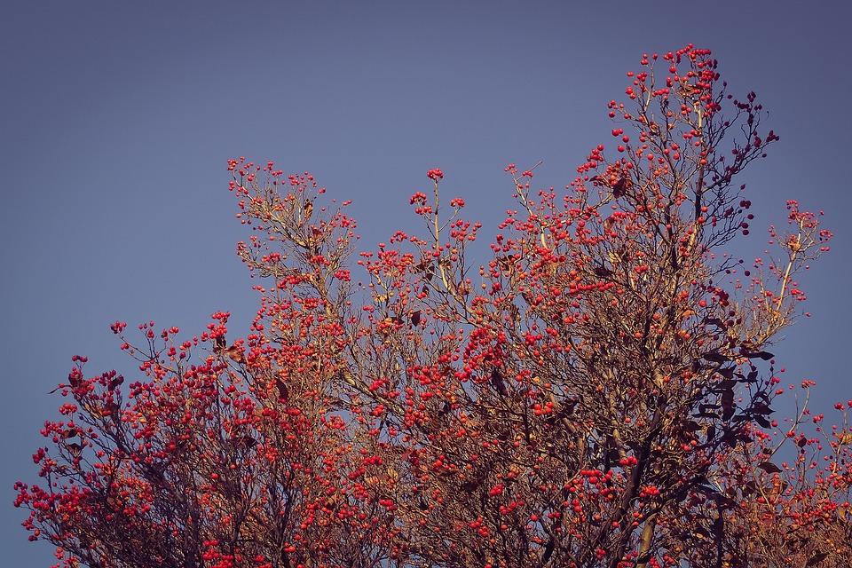 Tree, Nature, Thorn Apple, Valve Thorn, Street Tree