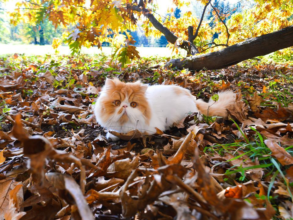 Cat, Tomcat, Persian, Park, Nature, Out, Tree, Leaves