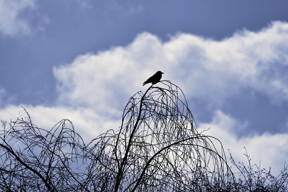 Tree Top, Branch, Crow, Sitting On Branch, Corvus