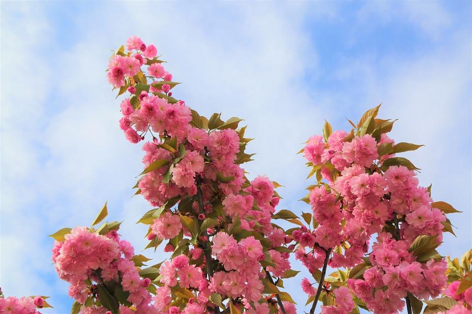 Flower, Tree, Plant, Tree Roses, Blooming
