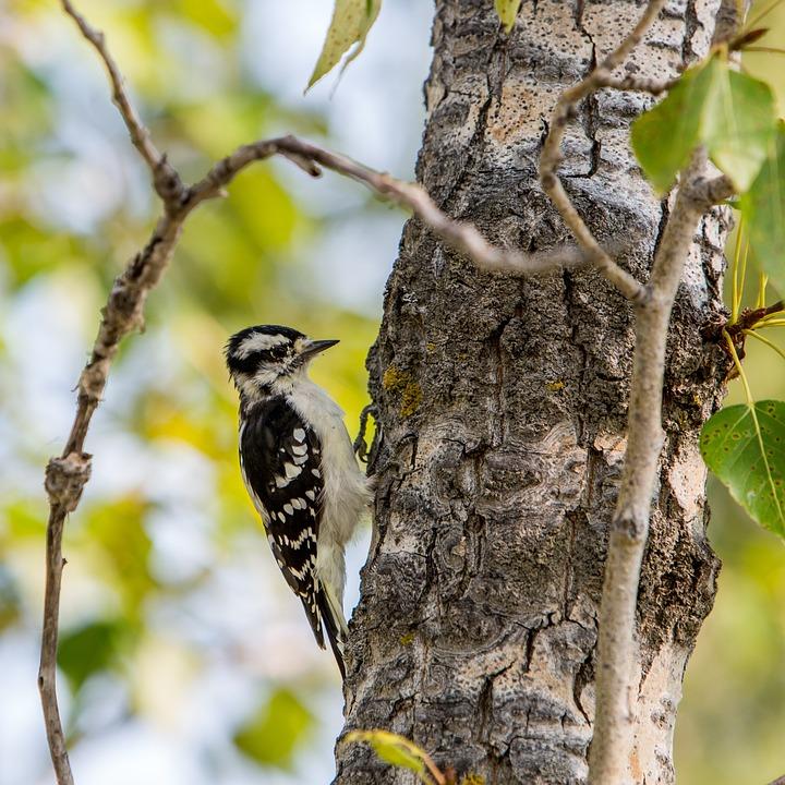 Bird, Woodpecker, Forest, Nature, Tree, Tree Trunk