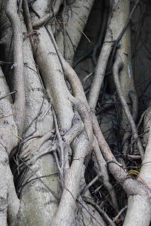 Roots, Tree, Ficus, Tree With Roots, Nature, Tree Roots