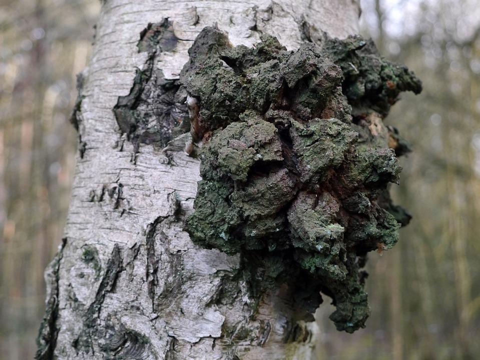 Birch, Tree, Log, Tribe