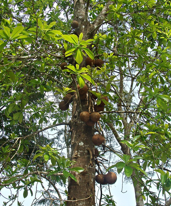 Canon Ball Tree, Tree, Flora, Fruit, Trunk, Yellapur