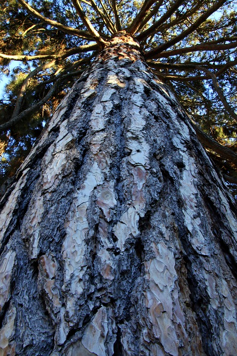 Tree, Trunk, Pine Tree, Tree Trunk, Wood, Nature