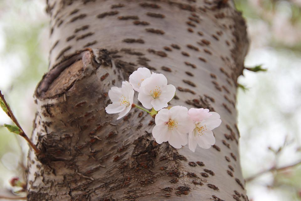Flowers, Petals, Tree, Trunk, Plant, Spring
