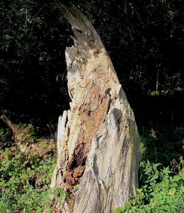 Tree Stump, Tree, Tree Trunk, Rot, Edge Of The Woods