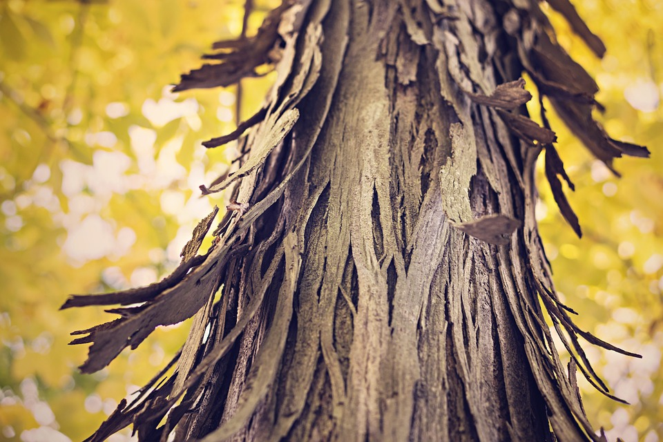 Flaking, Tree, Bark, Nature, Forest, Tree Trunk, Wood