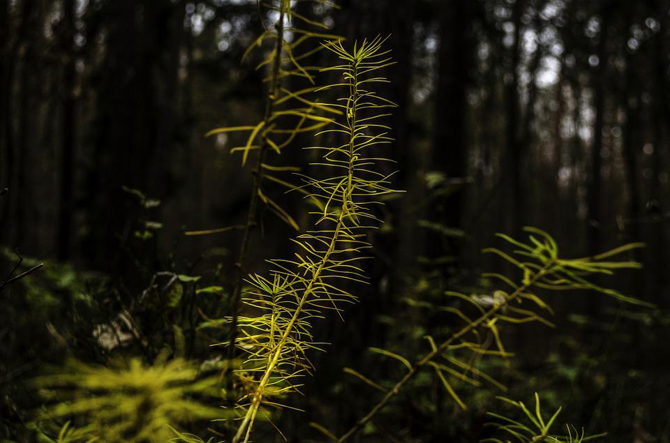 Larch, Forest, Strains, Pine Family, Tree Trunks