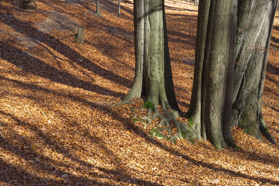 Autumn, Forest, Light, Shadow, Leaves, Tree Trunks