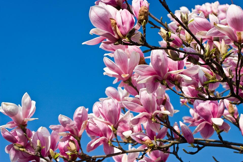 Free Photo Tree Tulip Tree Bloom Blossom Magnoliengewaechs Max Pixel