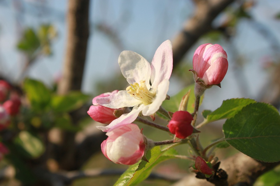 Apple, Flowers, Bud, Twig, Branch, Tree, Pink, Close-up