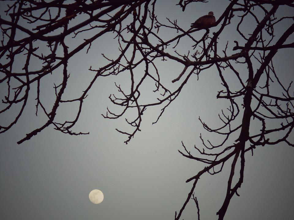 Turtledove, Tree, Night, Resting, Branch, Walnut