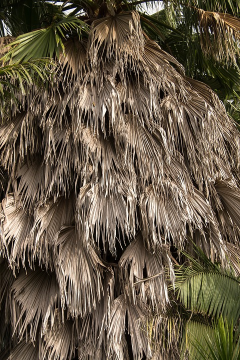 Palm, Fronds, Hanging, Washingtonia Palm, Tree