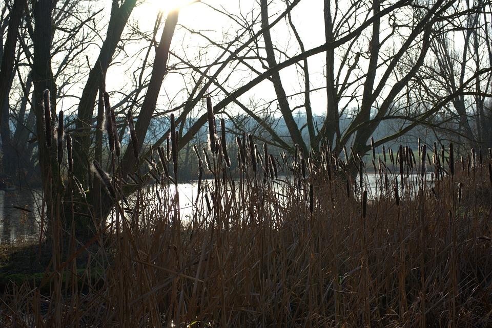 Cattail, Water, Sun, Lake, Pond, Idyllic, Forest, Tree