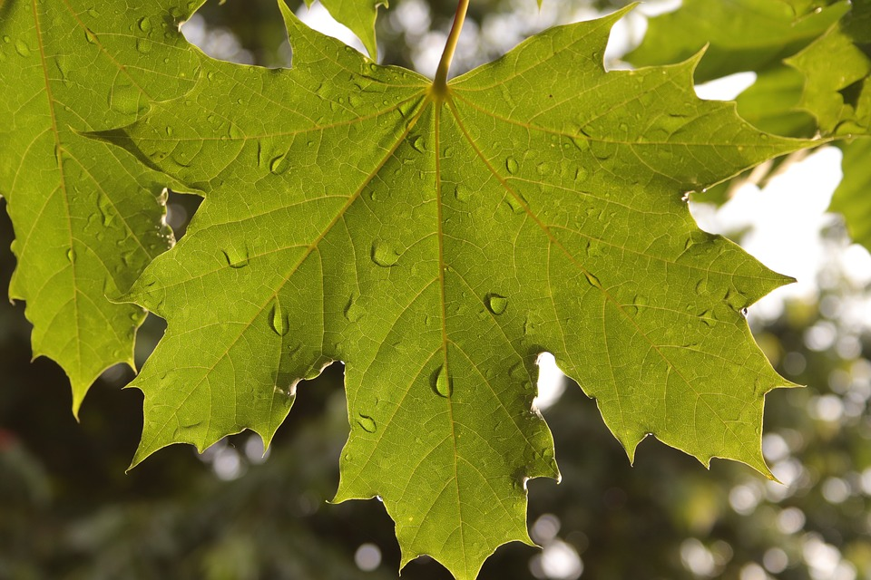 Leaf, Maple, Wet, Tree, Green, Nature, Hell