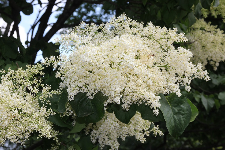 Japanese Tree Lilac, Tree Flowers, Tree, Blossom, White