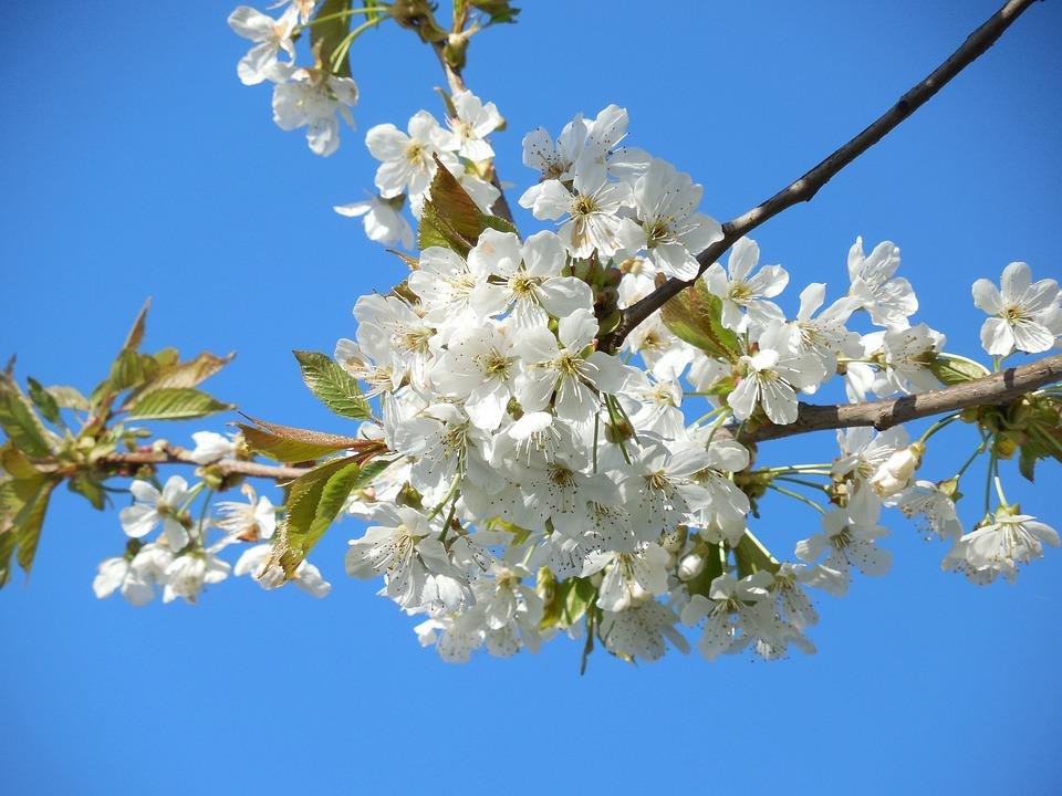 Free photo tree white flowers branch blossoming cherry spring max blossoming cherry white flowers branch tree spring mightylinksfo