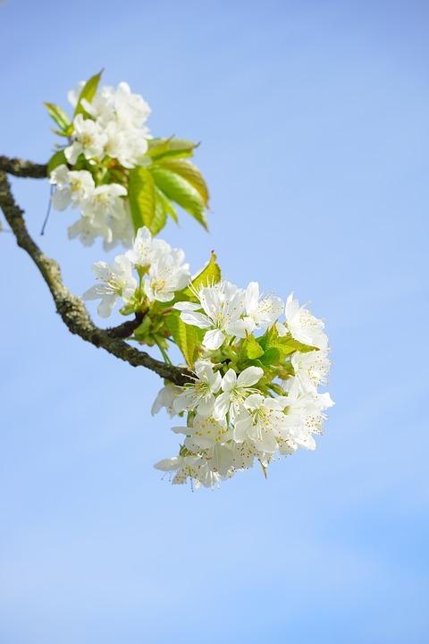 Cherry Blossom, Branch, White, Flowers, Tree