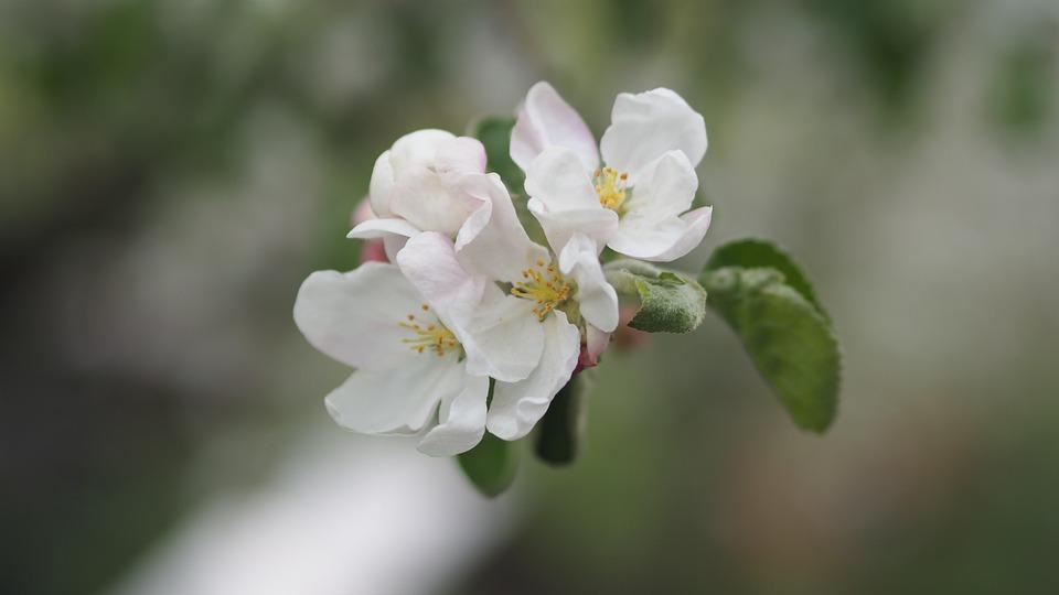 Flower, Apple Tree, Cee, Spring, Bloom, Tree, White
