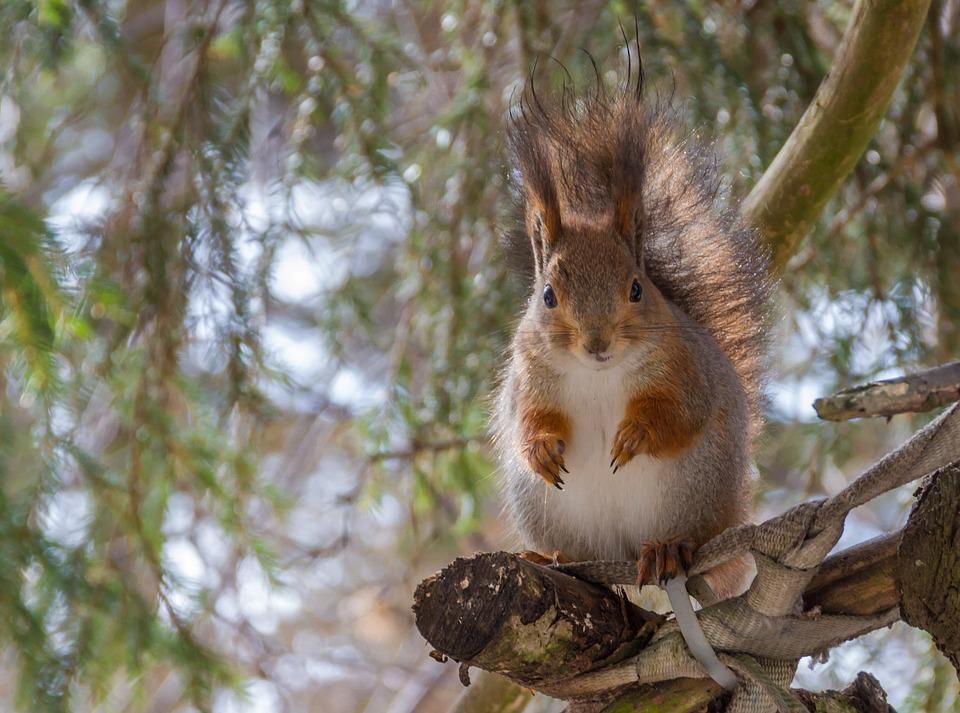 Tree, Nature, Wild Animals, Mammals, Squirrel, Animal