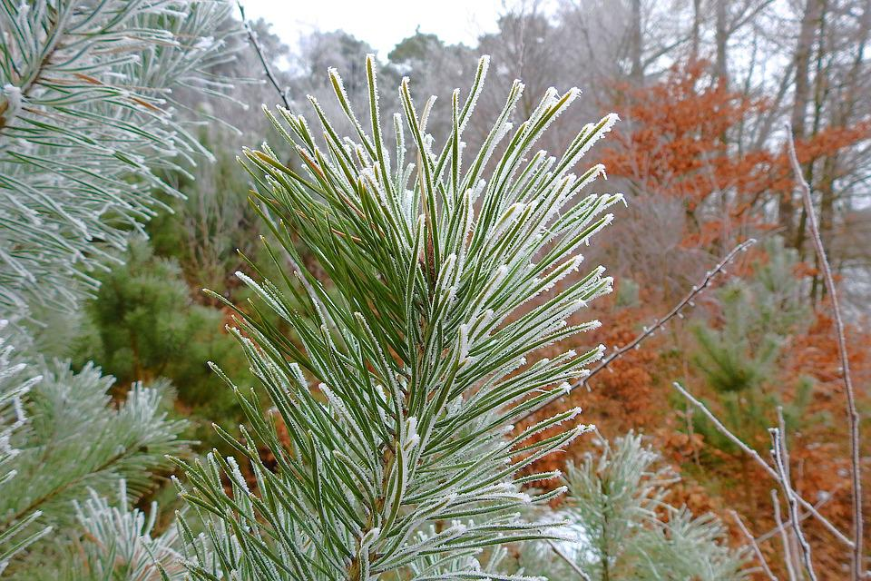 Tree, Nature, Winter, Needle, Frost, Pine