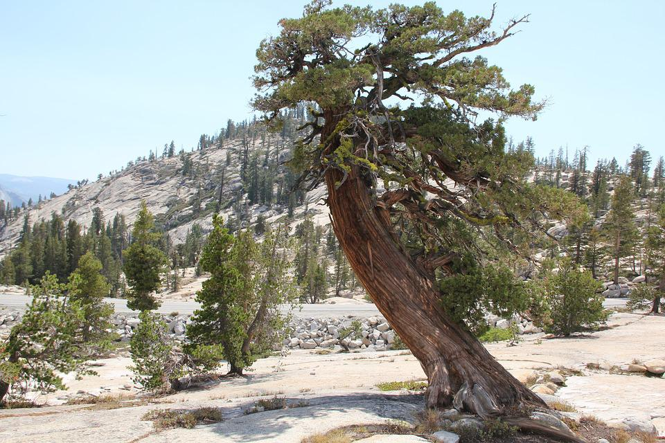 Tree, Cedar, Bark, Nature, Forest, Wood, Green, Branch