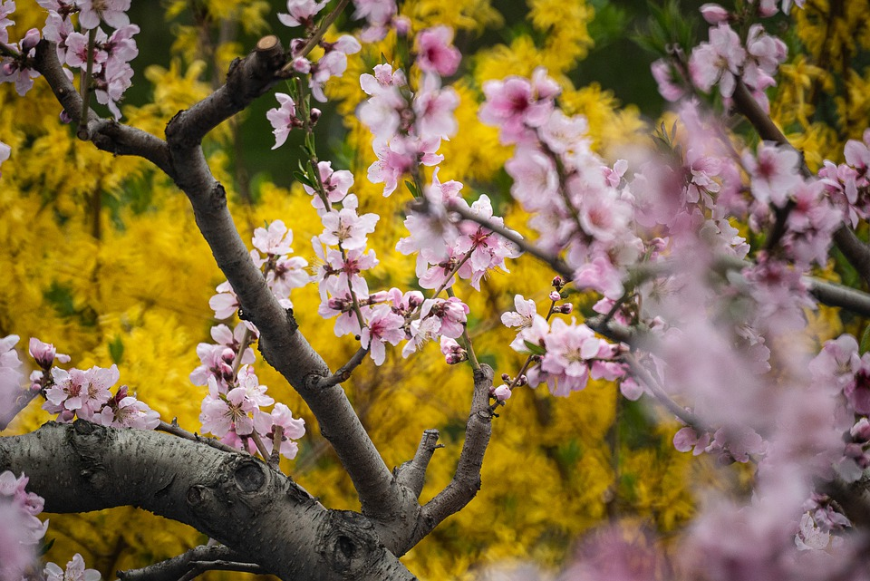 Cherry Blossoms, Yellow, Spring, Tree, Flowers, Nature