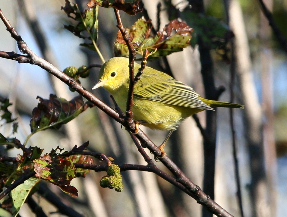 Yellow Warbler, Bird, Tree, Branch, Branches, Close-up