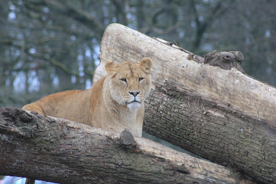 Lioness, Trees, Animal, Zoo