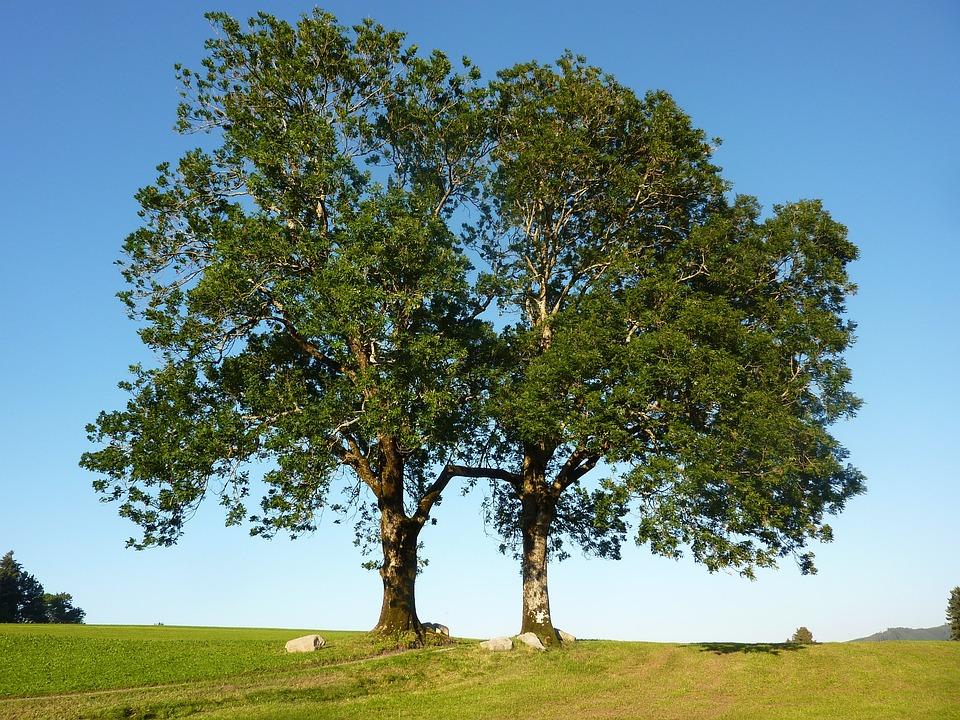 Trees, Ash, Ash Gate, M Farms, Gestratz