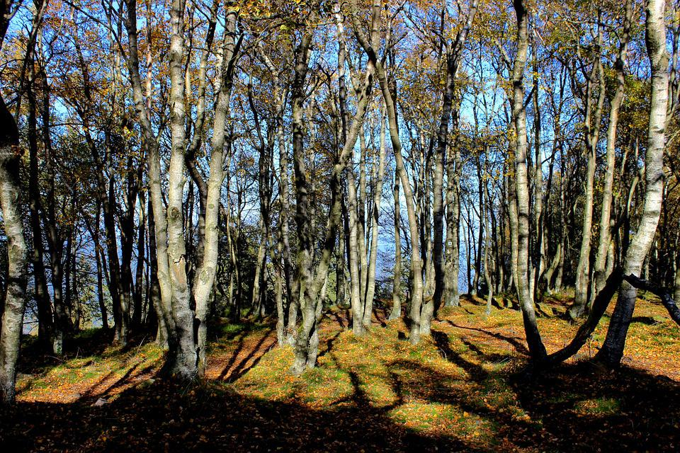 Forest, Autumn, Trees, Birch, Fall Foliage