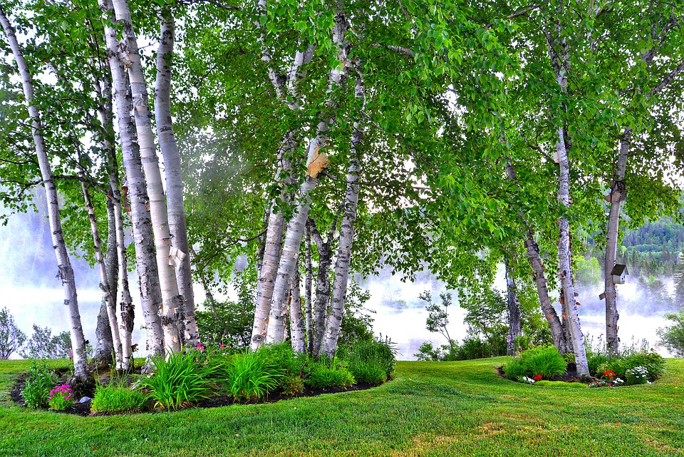 Birch, Landscape, Nature, Trees, Leaves, Wood, Lake