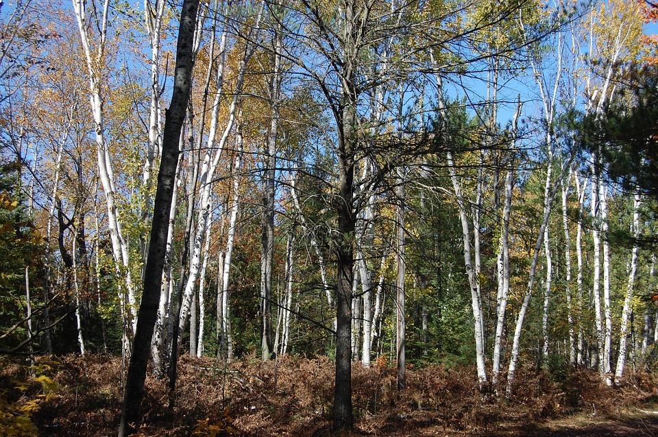 Birch, Trees, Autumn, Birch Trees, Nature, Forest