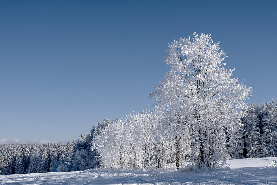 Winter, Forest, Firs, Conifers, Trees, Frost, Cold