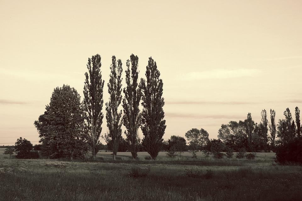 Landscape, Meadow, Trees, Poplars, Evening