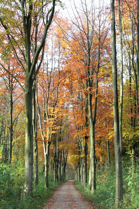 Beukenlaantje, Fall Colors, Forest, Nature, Trees