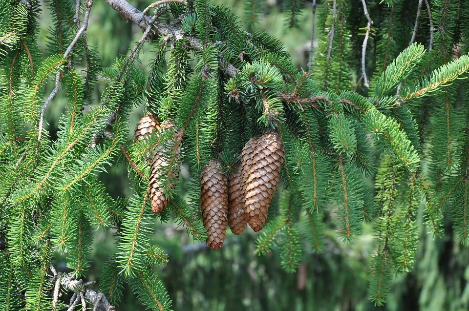 Fir Cones, Evergreen, Nature, Trees, Forest