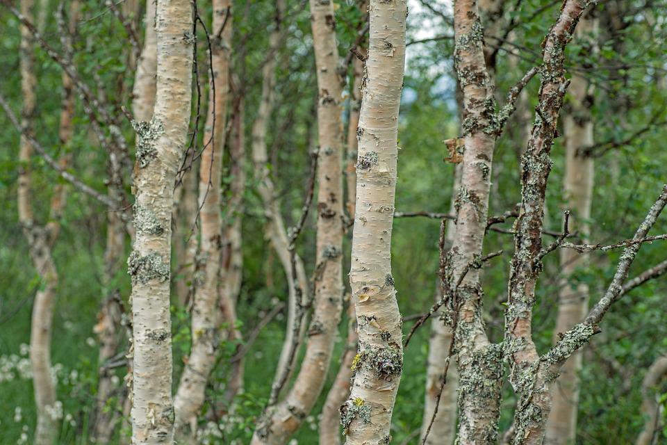 Sweden, Fjäll, Landscape, Nature, Trees, Birch, Forest