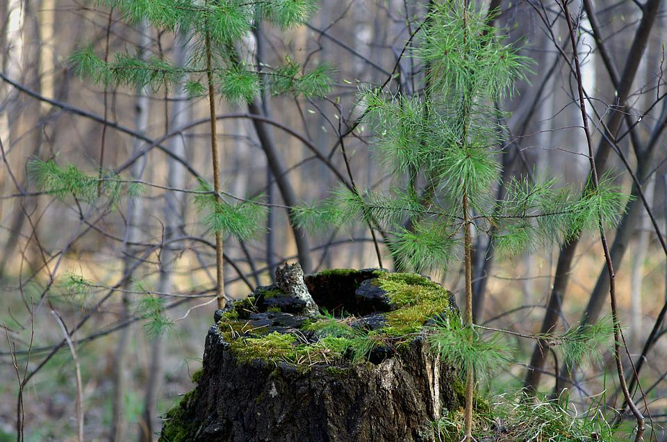 Spring, Forest, Stump, Nature, Trees, In The Forest