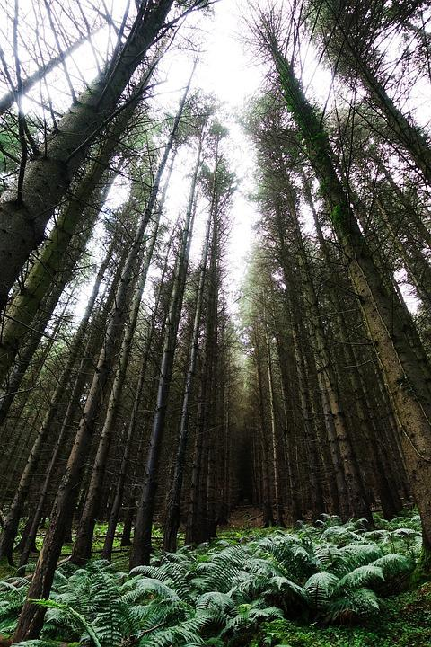 Trees, Forest, Tall, Pine, Light, Green, Wood